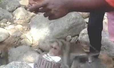 ipne maymun
