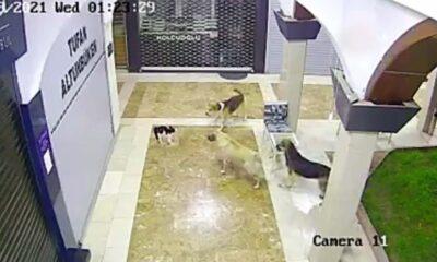 ass kicker cat