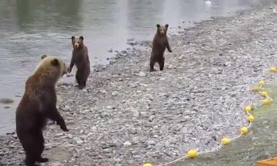 dangalak ayılar