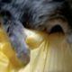 hırsız kedi