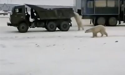 HY 0124 Polar bear hijack the truck