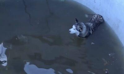 KOP 0011 Husky rescued from pool