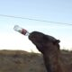 RU 0043 self water drinking camel
