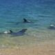 HY 0127 Dolphines are invading beach