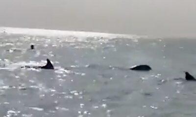 HY 0130 Dolpins hunting fish on shore