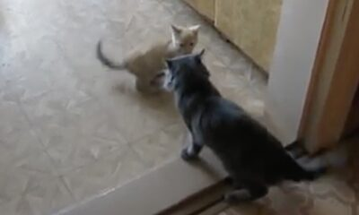 While the cute kitten and the neighbor cat were fighting, the other neighbor cat intervened and prevented the fight.