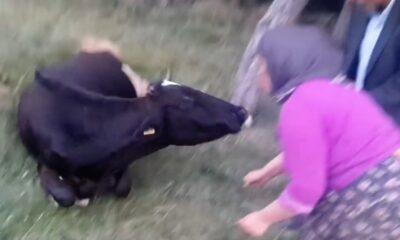 HYR 0008 Cow swallowed plastic bag rescued