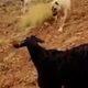 çobanın itleri