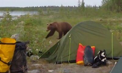 kampcı ayı