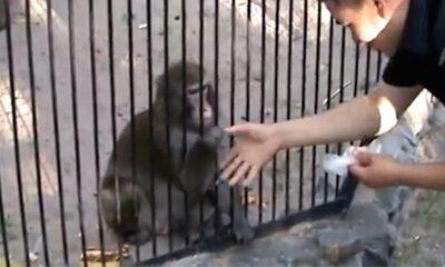 maymu şam fıstıgı istiyor