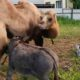 HY 0139 Camel and Donkey
