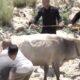 HYR 0009 Mad Bull terrorize village