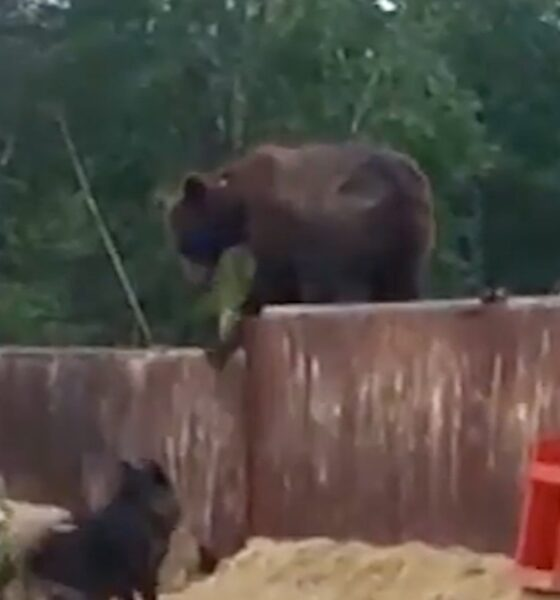 The bear, which raided the construction site in search of food, encountered dogs