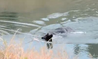The cow that escaped from its barn and hid by the lake was rescued as a result of long efforts.