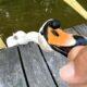 cute swan bites hands at park visitors' food treat